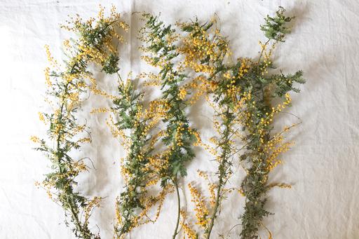 ミモザの花。あとでカットするので、枝ぶりの短いものでもOK