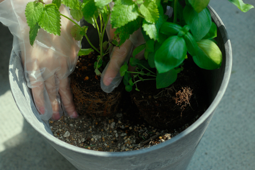 複数のハーブを寄植えする際は、サイズに余裕のある大きめの鉢を選ぼう