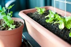 一人暮らしにはベランダの家庭菜園がおすすめ!初心者でもできる!